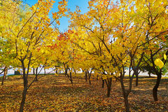 The golden tree leaves and fallen leaves Royalty Free Stock Photos