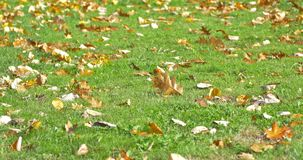 Golden Tree Leaves On Green Grass In Autumn stock footage