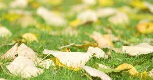 Golden Tree Leaves On Green Grass In Autumn. Season stock video