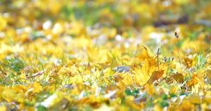 Golden Tree Leaves On Ground In Autumn. Season stock video