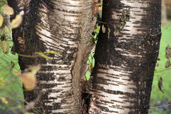 Golden tree Stock Photos