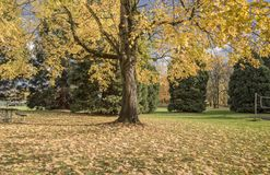 Golden tree in a park Oregon. royalty free stock images
