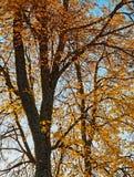 Golden tree stock photography