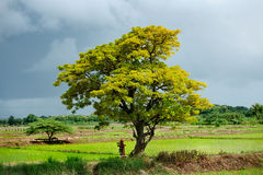 Golden  tree  in the rice field Royalty Free Stock Image
