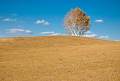 Golden tree on slope Royalty Free Stock Photo