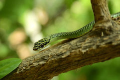 Golden tree snake Royalty Free Stock Images