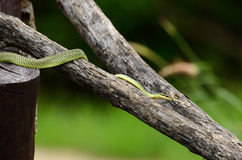 Golden Tree Snake (Chrysopelea ornata) Stock Image