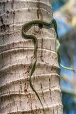 Golden tree snake or chrysopelea ornata climbing on coconut tree trunk, close up of pit viper Royalty Free Stock Image