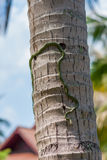 Golden tree snake or chrysopelea ornata climbing on coconut tree trunk, with a living house on background, close up of Royalty Free Stock Images