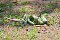 Golden Tree Snake Stock Photography