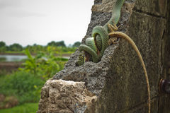 Golden tree snake Royalty Free Stock Photo