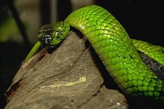 Golden tree snake. Is on the tree stock images