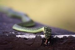 Golden Tree Snake Stock Photo
