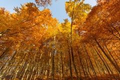 Golden tree trunks Royalty Free Stock Photos
