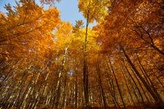 Golden tree trunks Stock Image