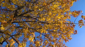 Golden tree with yellow leaves moving against blue sky. Golden tree with autumn yellow leaves moving against blue sky, slow motion stock video footage