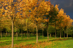 Golden trees. Golden leafs on a row of trees in autumn Stock Image