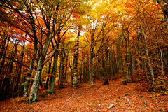 Golden trees Stock Photo