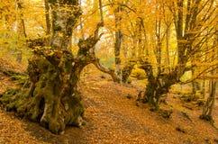 Golden trees in autumn stock image