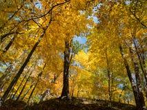 Golden trees at autumn Stock Image