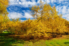The golden trees and cloudscape Royalty Free Stock Photo