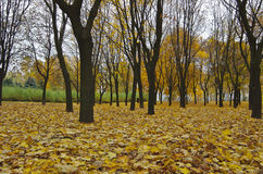 Golden trees in fall. Golden trees and leaves in fall Stock Photo