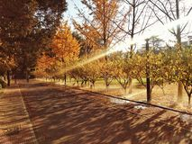 Golden trees of fall Stock Photo