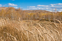 Golden trees and grasses under blue sky Royalty Free Stock Images