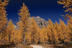 Golden trees Stock Images