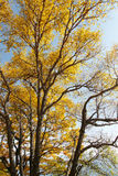 Golden trees and leaves on Baihua Mountain, Beijing Stock Photography