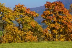 Golden trees on meadow. Blue sky austria Stock Image