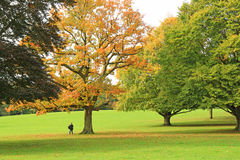 Golden trees in the park in autumn Stock Photos