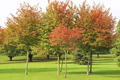 Golden trees in the park in autumn Royalty Free Stock Photos