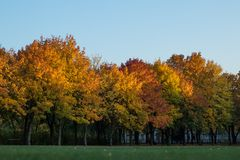 Golden trees in a park. And a blue sky behind them royalty free stock photography