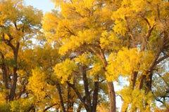 Golden trees Stock Photos