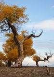 Golden trees populus Royalty Free Stock Photos