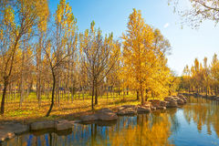 The golden trees riverain autumnal scenery Stock Photo