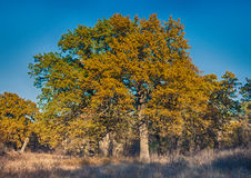 Golden trees in the woods Stock Photo