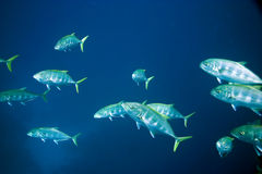 Golden trevally Royalty Free Stock Photo