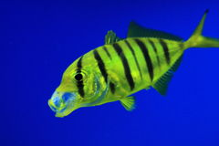 Golden trevally Royalty Free Stock Photography