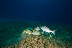 Golden trevally Stock Image