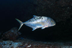Golden trevally fish Royalty Free Stock Images