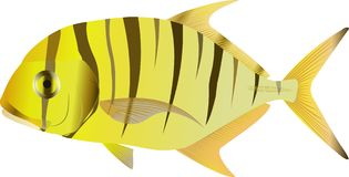 Golden trevally Gnathanodon. The vector drawing of a sea fish living among coral reeves. Fishing Stock Photography