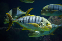 Golden trevally Gnathanodon speciosus Stock Photo