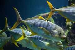 Golden trevally Gnathanodon speciosus Stock Image