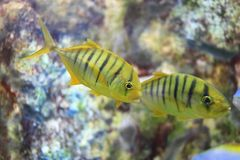 Golden trevally Royalty Free Stock Images