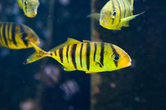 Golden trevally Gnathanodon speciosus. Royalty Free Stock Photos