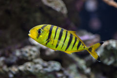 Golden trevally Gnathanodon speciosus. Royalty Free Stock Photography