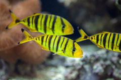 Golden trevally Gnathanodon speciosus. Royalty Free Stock Images