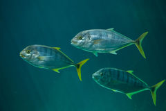 Golden trevally Gnathanodon speciosus. Stock Photo